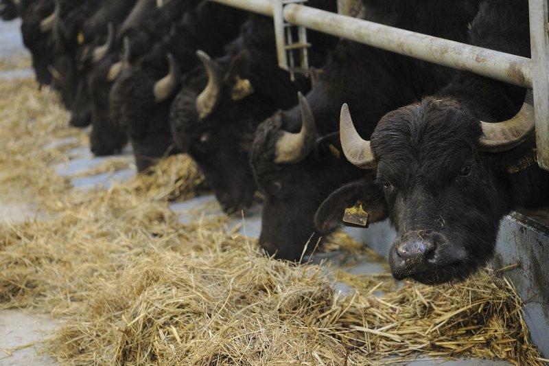 Le bufale di Mandre