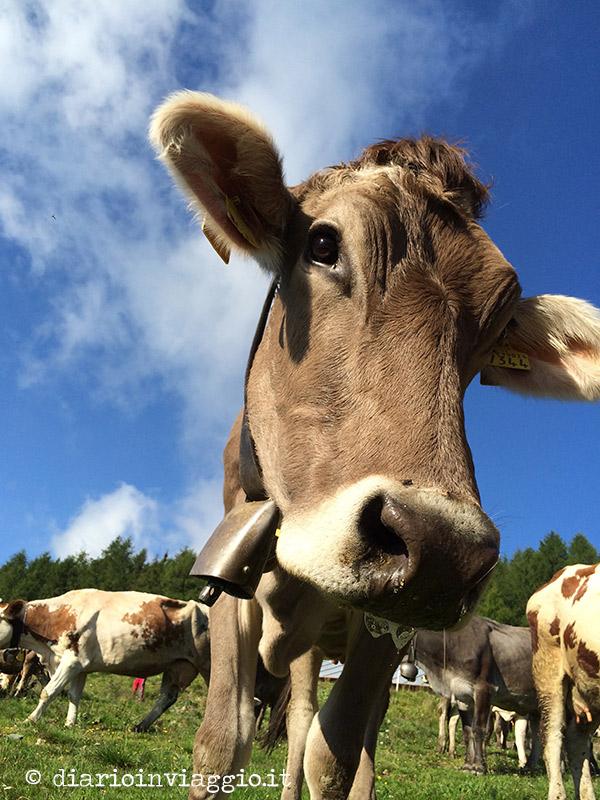 Mucche belle trentine