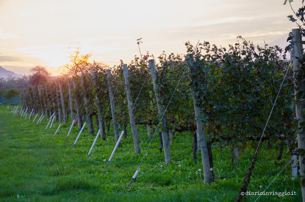 La vigna dell'Azienda Agricola Terre dei Castellaz